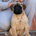 Na prodaju žensko štene bulmastifa